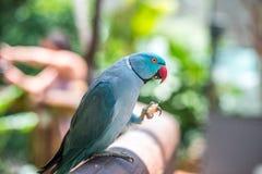 Perroquet indien bleu-clair de cou d'anneau photo libre de droits