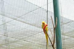 Perroquet indien jaune de ringneck mangeant le piment photos stock