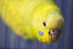 Perroquet jaune Photographie stock libre de droits