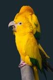 Perroquet jaune Image libre de droits