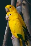 Perroquet jaune Photo stock