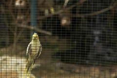 Perroquet jaune Photos libres de droits