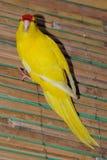 Perroquet jaune Photo libre de droits
