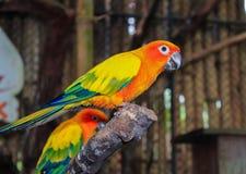 Perroquet jaune d'oiseau sur une branche Photo libre de droits