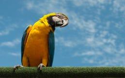 Perroquet jaune et bleu Photo stock