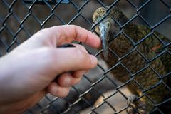 Perroquet jouant avec le doigt humain dans le zoo de Francfort image libre de droits
