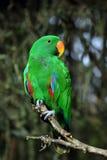 Perroquet mâle d'Eclectus images libres de droits
