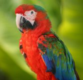 Perroquet - Macaw bleu rouge Photographie stock libre de droits