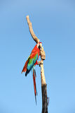 Perroquet : macaw d'écarlate photo stock