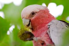 Perroquet mangeant des graines Photos libres de droits