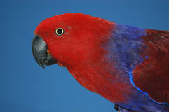 Perroquet masculin d'eclectus images stock