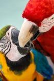 Perroquet Mexique Photo libre de droits