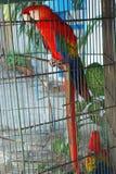 Perroquet mis en cage Image stock