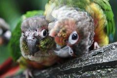 Perroquet onduleux coloré Image libre de droits