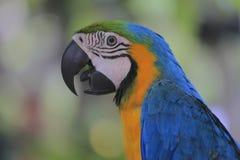 Perroquet ou ara Photo libre de droits