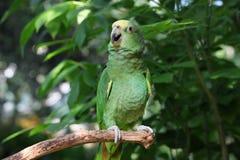 Perroquet ou macaw avec les clavettes vertes et jaunes Photographie stock