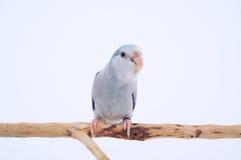 Perroquet Pacifique Images stock