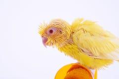 Perroquet Pacifique Photos stock