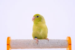 Perroquet Pacifique Photo libre de droits