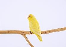 Perroquet Pacifique Photographie stock