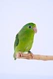 Perroquet Pacifique Images libres de droits