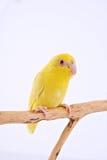 Perroquet Pacifique Photographie stock libre de droits