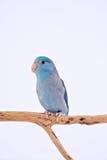 Perroquet Pacifique Photo stock