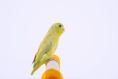 Perroquet Pacifique Image stock