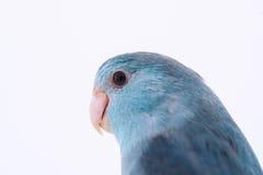 Perroquet Pacifique Image libre de droits