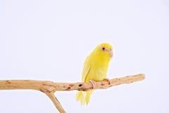 Perroquet Pacifique Photos libres de droits