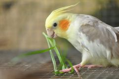 Perroquet pie de Cockatiel Image libre de droits