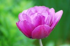 Perroquet rose magnifique simple Tulip Flower Blossom Images libres de droits