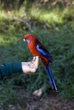Perroquet Rosella Images stock