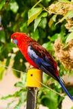 Perroquet Rosella photos libres de droits