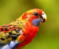 Perroquet Rosella photos stock