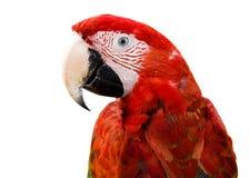 Perroquet rouge Photos libres de droits