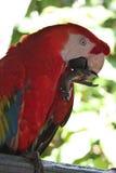 Perroquet rouge Photo libre de droits