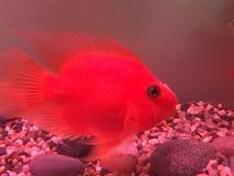 Perroquet rouge Photographie stock libre de droits