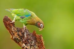 perroquet Rouge-couronné, viridigenalis d'Amazona, Costa Rica Photos stock