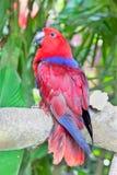 Perroquet rouge de Lory dans l'entourage de nature Photo stock