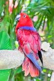 Perroquet rouge de Lory dans l'entourage de nature Image libre de droits