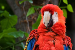 Perroquet rouge de Macaw images libres de droits