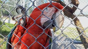 Perroquet rouge derri?re les grilles image libre de droits