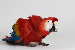 Perroquet rouge effrayé photos stock