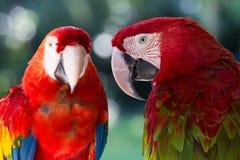 Perroquet rouge en parc d'oiseau de Bali, l'Indonésie Image stock