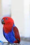 Perroquet rouge et bleu Photos stock