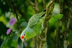 Perroquet rouge-lored, autumnalis d'Amazona, portrait de perroquet vert clair avec le chef rouge, Costa Rica Portrait en gros pla Images libres de droits