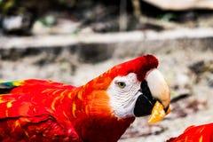 Perroquet rouge mangeant une orange/mandarine/mandarine dans la jungle près d'Iquitos, Pérou images stock