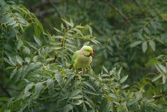Perroquet sauvage Photo libre de droits