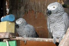 Perroquet se reposant dans une cage Photos libres de droits